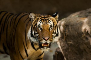 Tiger standing in a cave with its mouth slighly open. Trying to tame the tiger