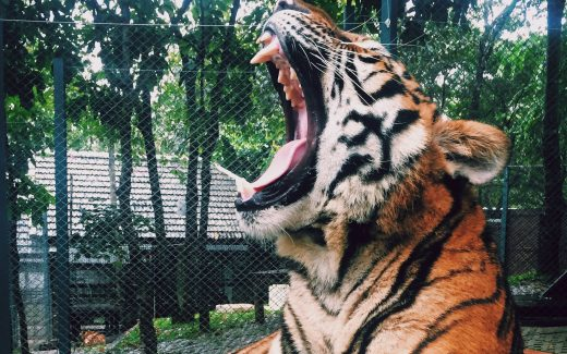 Tiger roaring from its cage in a zoo. Trying to tame the tiger