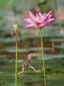 Bird balancing between the stems of two pond plants. Is attitude a self-fulfilling prophecy?