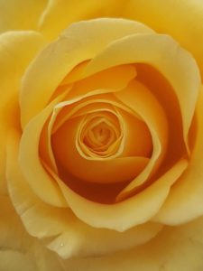 Close-up of a yellow rose. Lockdown: what have we learnt so far?
